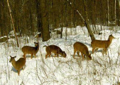 une visite hivernale....Famille de chevreuils